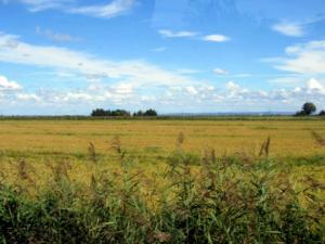 rizières à perte de vue